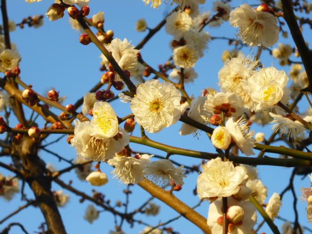 大森南の桜梅公園の梅です