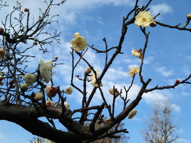 萩中公園の白梅です。まだ咲き始めでした。