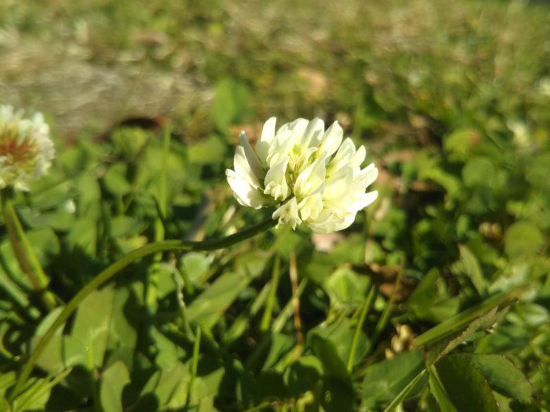 多摩川近くで咲いていたシロツメクサです。