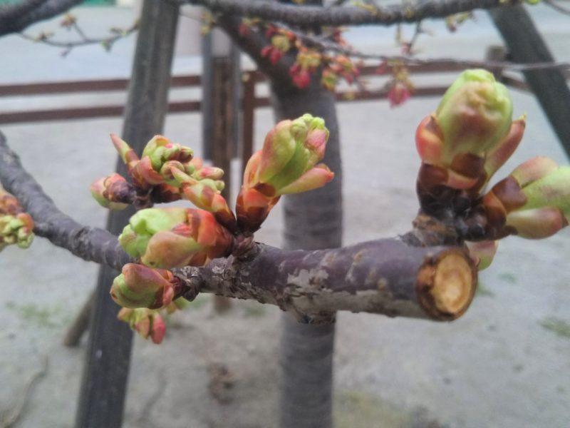 萩中公園の早咲きの桜の蕾です。