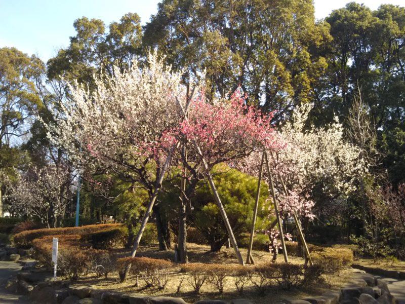 萩中公園の梅の木です。
