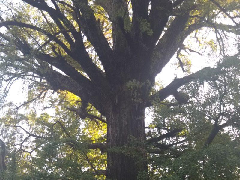 鬼子母神の御神木です。
