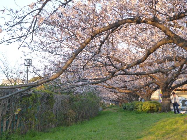 多摩川大師橋緑地の桜のトンネルです。