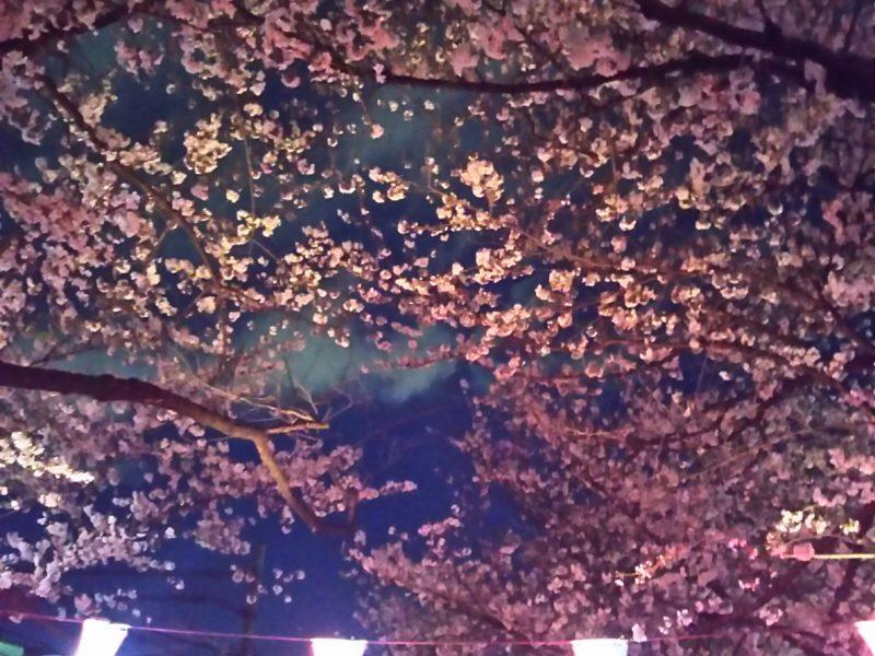 今年の春の夜桜です。