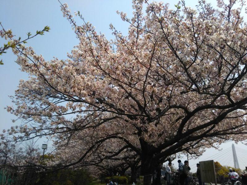 多摩川大師橋緑地の満開の桜です。