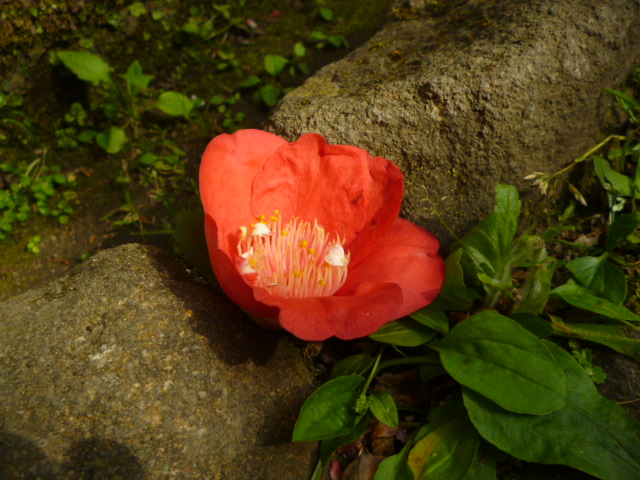 赤い椿の花です。