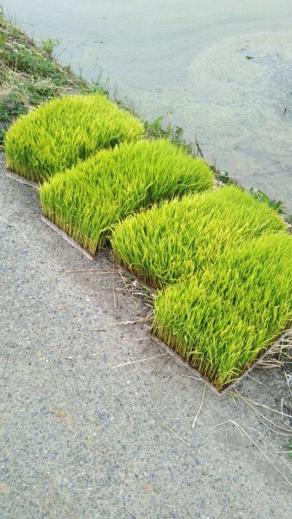 田んぼのわきに置かれた苗床です。