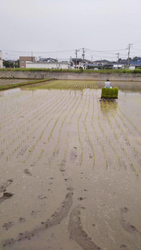 水田に苗を植えています。