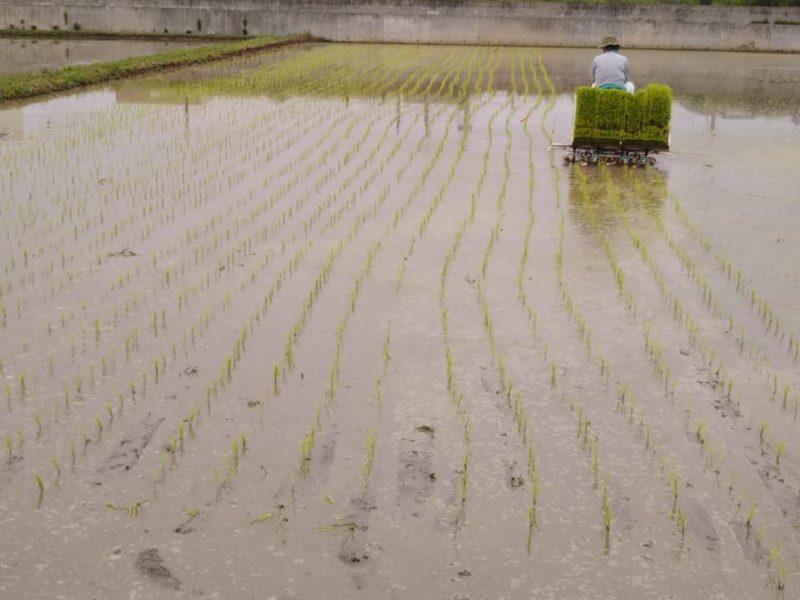 水田で田植えをしている様子です。