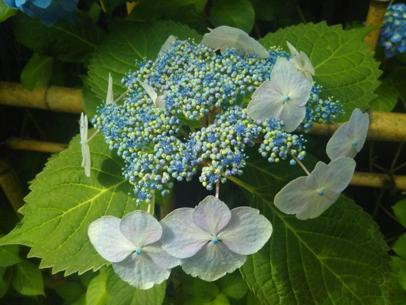 青いガクアジサイの花です。