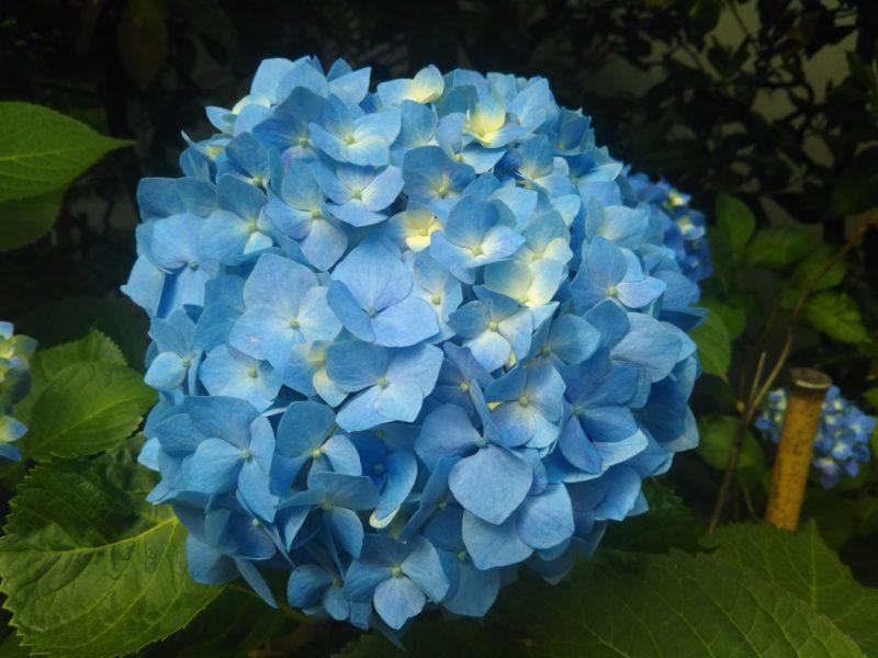 青い紫陽花です。