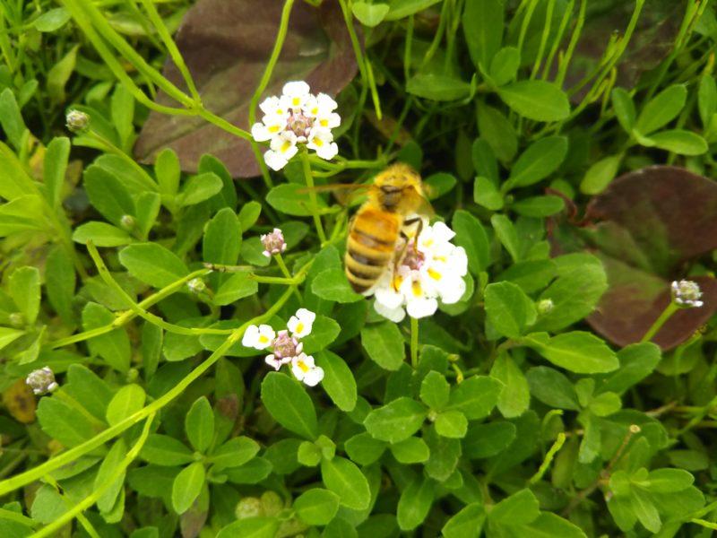 花の蜜を集めているミツバチです。