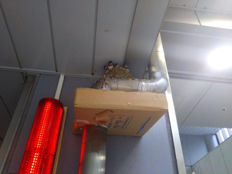 交番の赤色灯の近くのツバメの巣です。