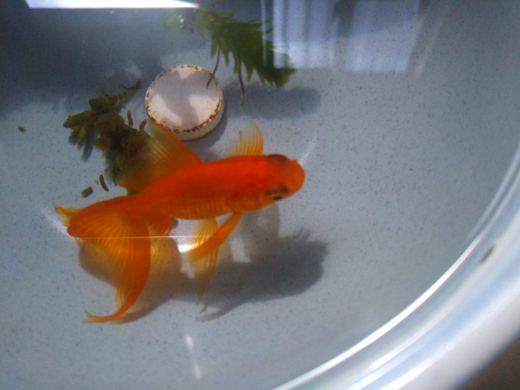 せき不動産の看板金魚、どんぶり金魚のきーちゃんです。