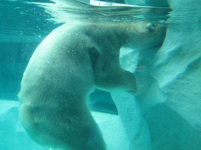 水中で餌を探すホッキョクグマです。