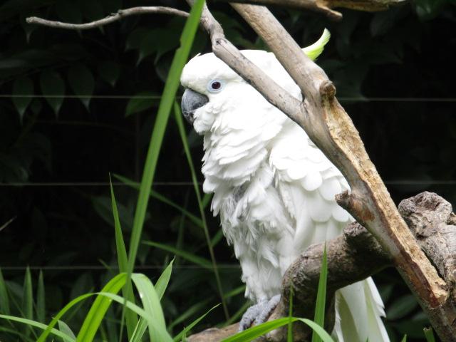 上野動物園の白いオウムがこちらを見ているところです。