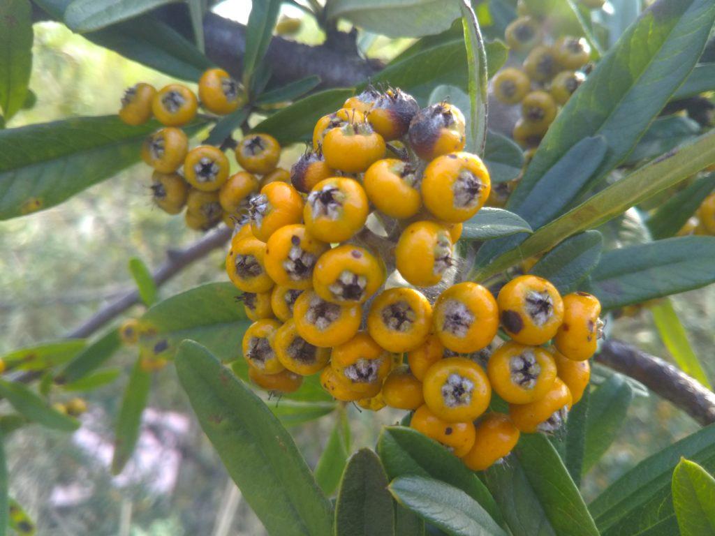 多摩川河川敷になっていた、ピラカンサの黄色い実です。