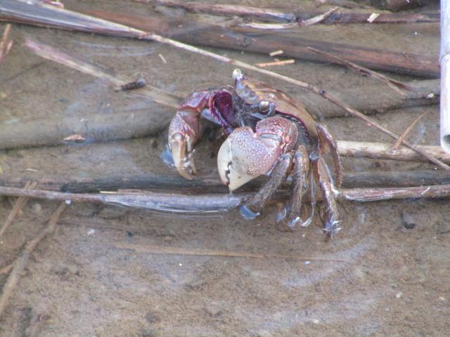 多摩川の河口付近に住む蟹です。
