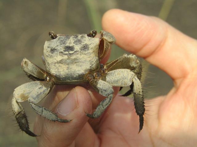 多摩川の土手の草の中に住んでいる蟹です。
