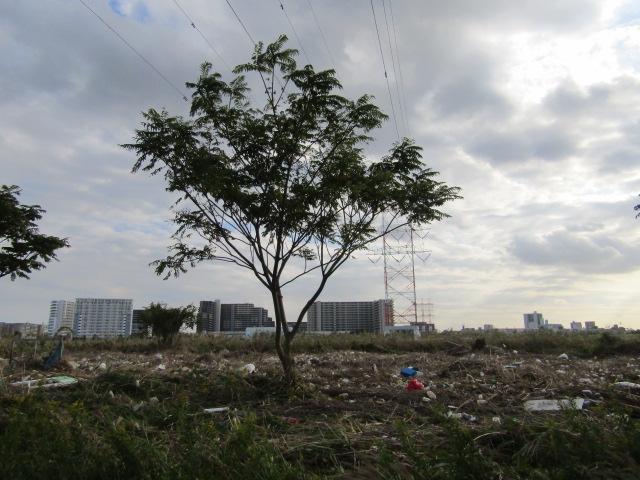 台風の後の多摩川大師橋緑地です。