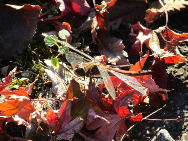 モミジの落ち葉の上にとまっているトンボです。