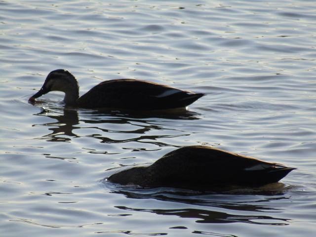 多摩川の大師橋の近くで餌を探す鴨のつがいです。