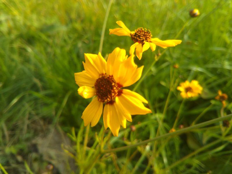 多摩川の河川敷に咲いていたコスモスです。