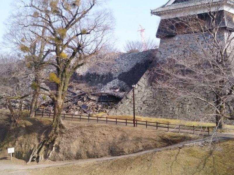 熊本城内の木に寄生しているやどり木です。