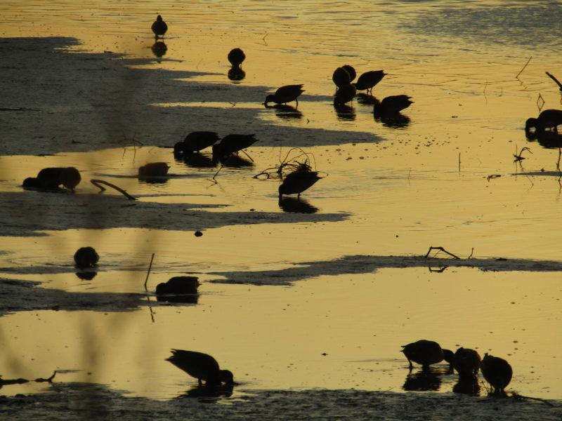 多摩川の干潟で餌を食べる鴨の群れです。