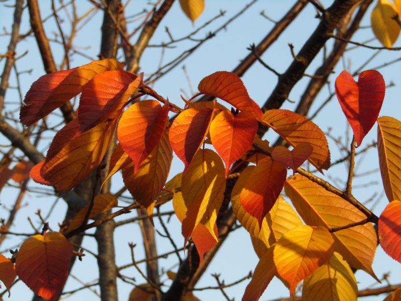 紅葉した桜の葉です。