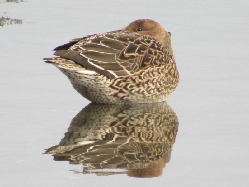 多摩川河口で休む鴨です。