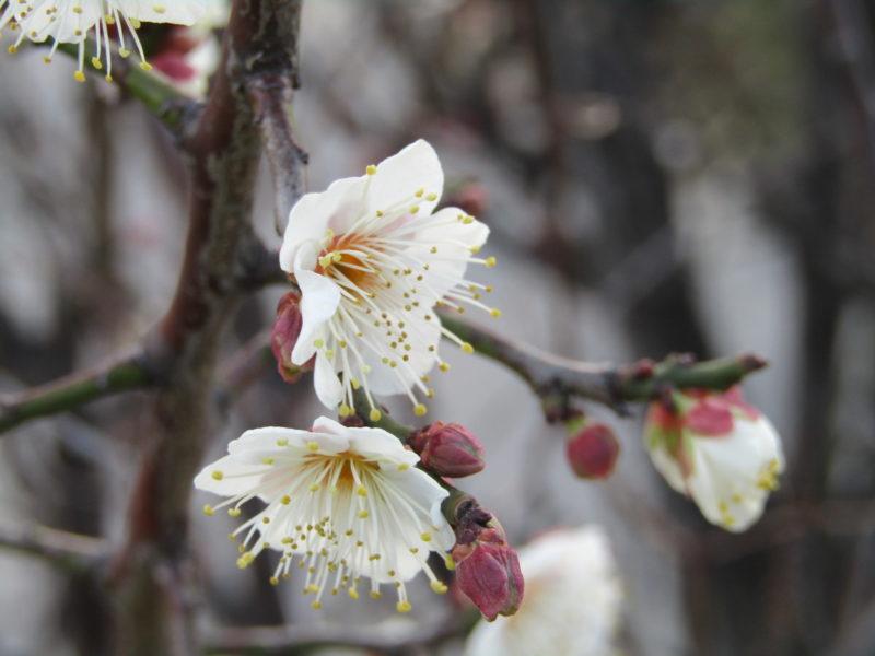 多摩川沿いに咲いていた梅の花です。