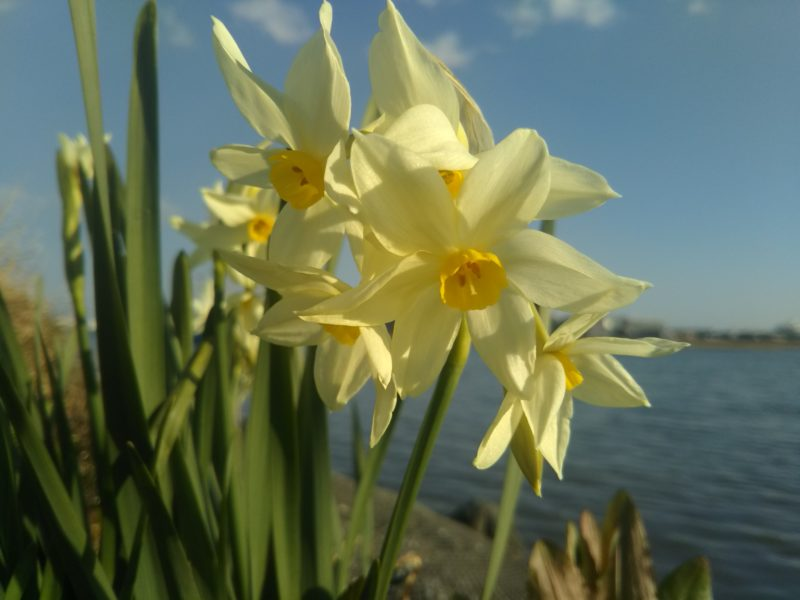 多摩川に咲いていた水仙です。