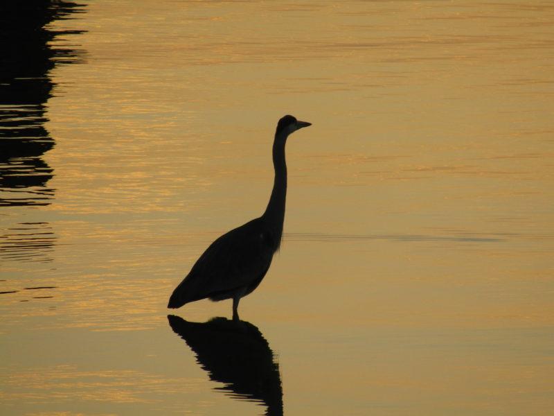 多摩川の朝焼けのなかの鳥の姿です。