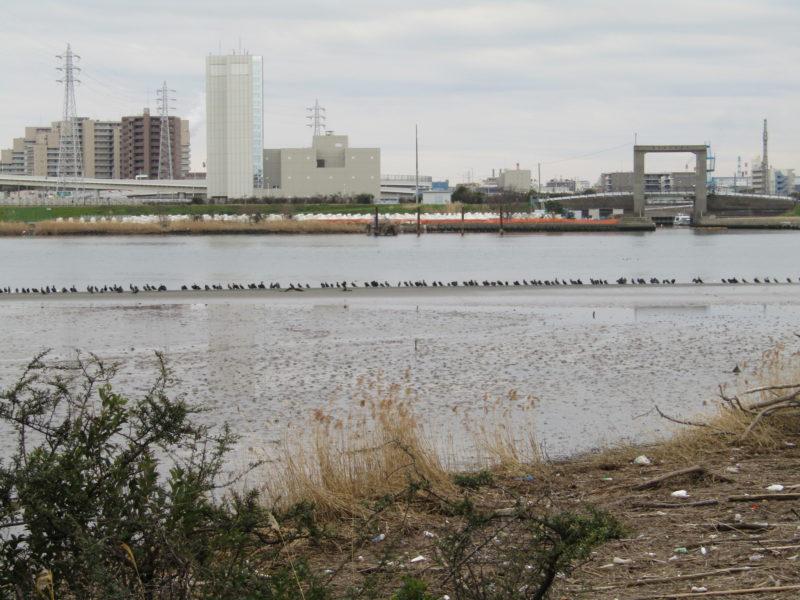 多摩川の大師橋付近にいた鵜の大群です。