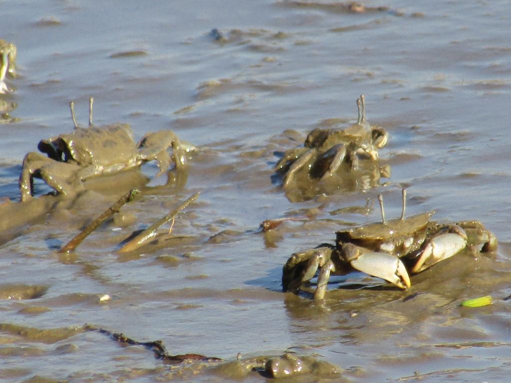 多摩川の干潟にいる蟹です。