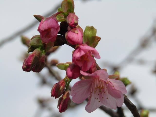 萩中公園の河津桜です。