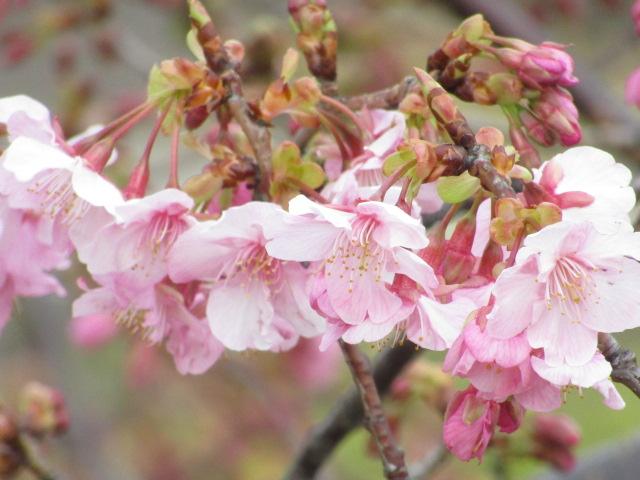 多摩川の近くの河津桜です。