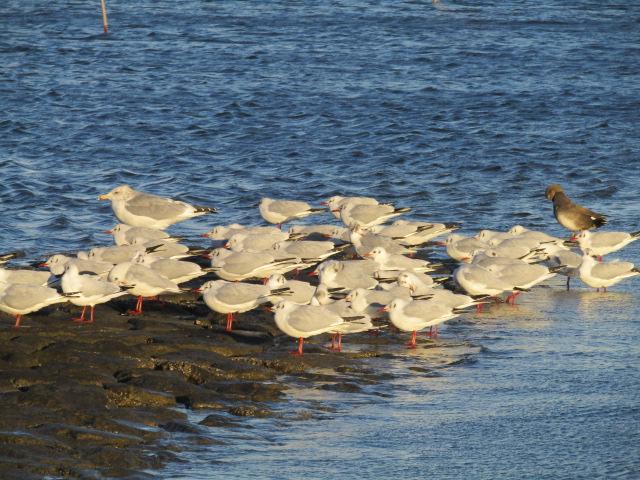 羽田の五十間鼻の冬鳥たちです。