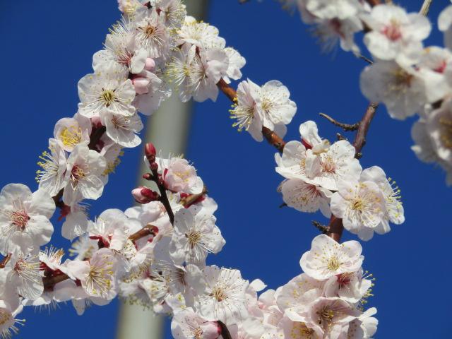 羽田空港の入り口の弁天橋の鳥居の梅の花です。
