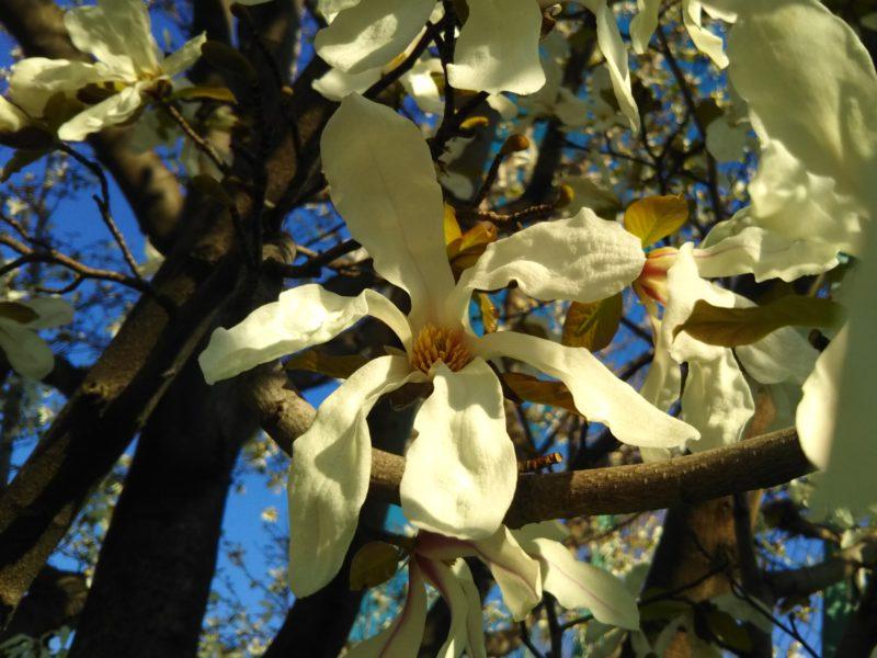 萩中公園のこぶしの花です。