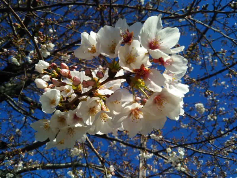 萩中公園の桜です。