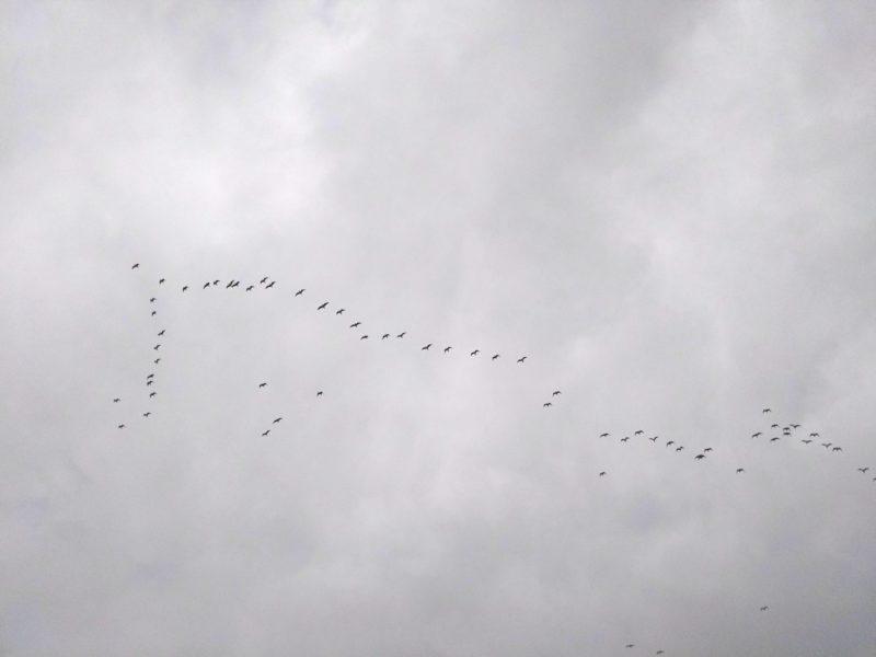 多摩川の上空を飛ぶ鳥の群れです。