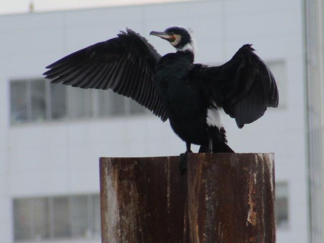 多摩川河口付近で羽を乾かす鵜です。