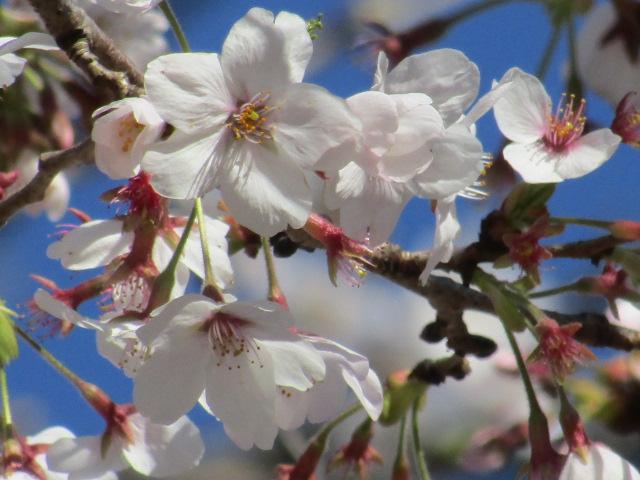 今年の桜の花です。
