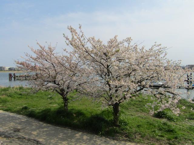 多摩川沿い羽田の桜の木です。