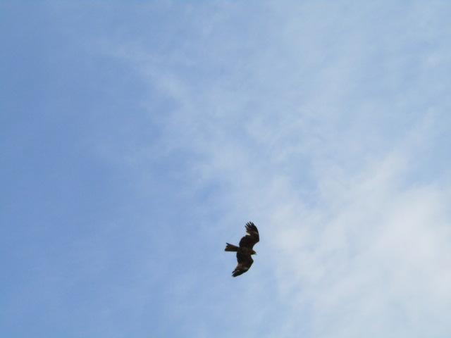 羽田の空を飛ぶトンビです。