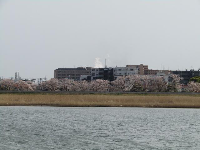多摩川の対岸の川崎の桜並木です。