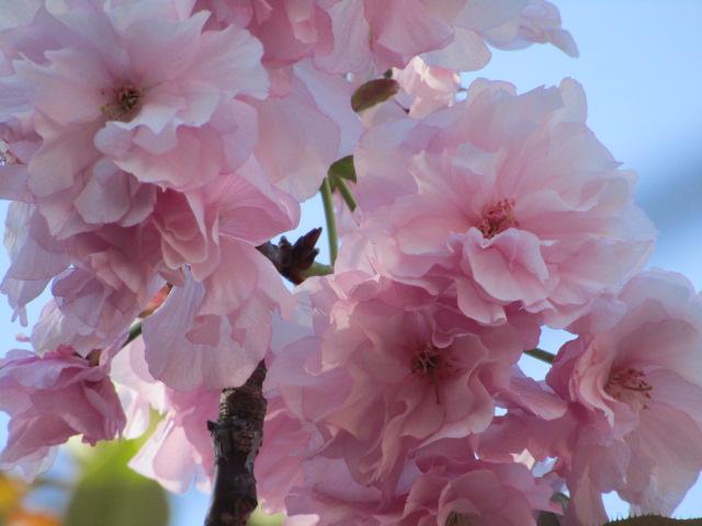 西糀谷3丁目の三徳稲荷神社の八重桜です。