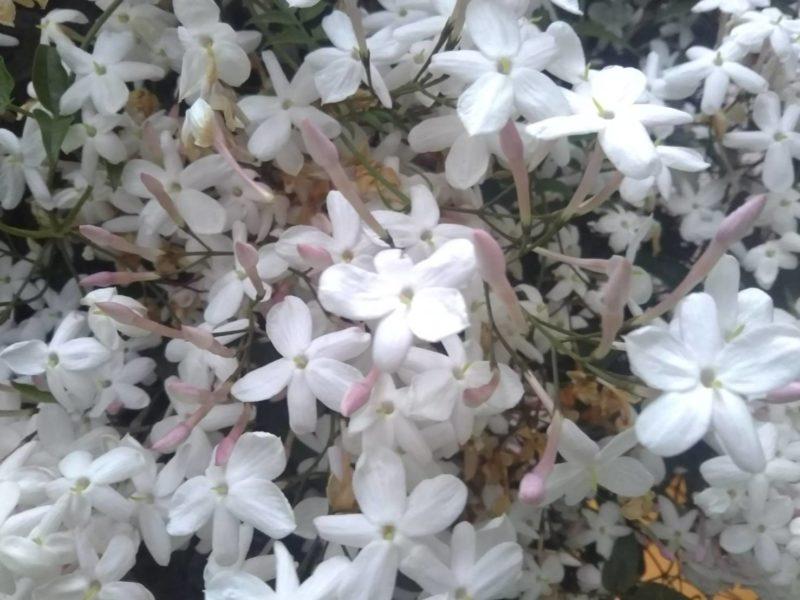 ジャスミンの花です。